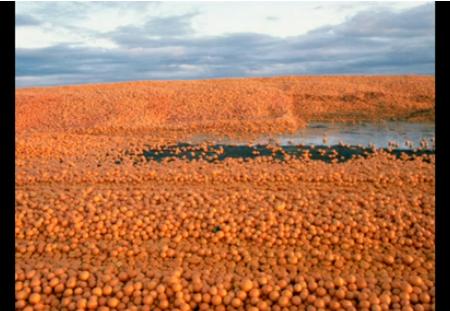 oranges in florida food waste
