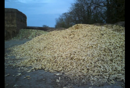 parsnips going to waste